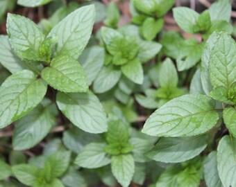 15 Chocolate Mint sprigs/ stem cuttings, Organic Fresh Herb
