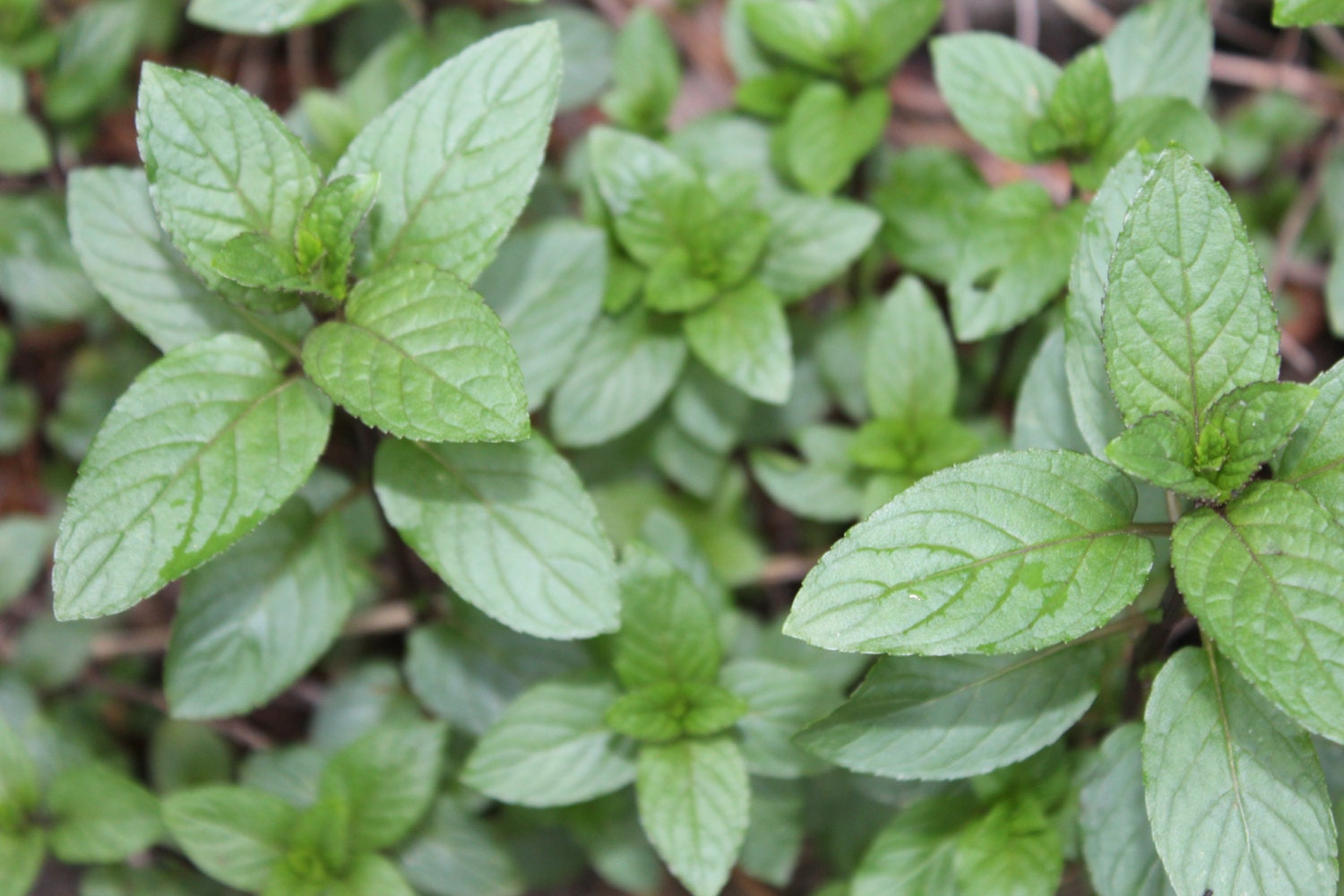20 Chocolate Mint sprigs/ cuttings, Organic Fresh Herb from ...