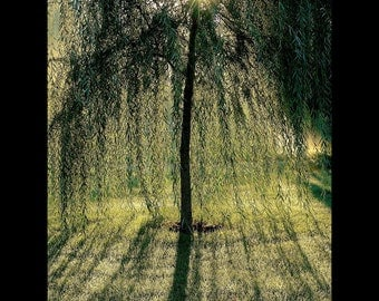 Morning Sunlight Filters Through a Willow Tree