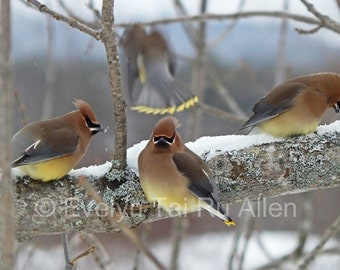 "Pair of note cards or 4""x6"" prints ~ Cedar waxwings in the snow ~ Winter nature bird photos"