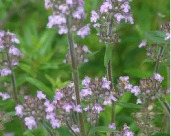 Summer Savory - Herb- 200 Seeds