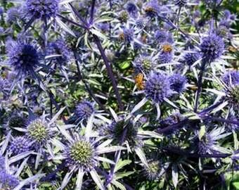 Sea Holly Blue-(Eryngium Planum) - 100 seeds