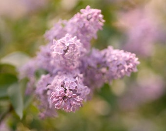Lilac photography, floral photo print, flower picture 12x12, lilac wall art, nature artwork botanical photo, dusty pink lavender wall decor