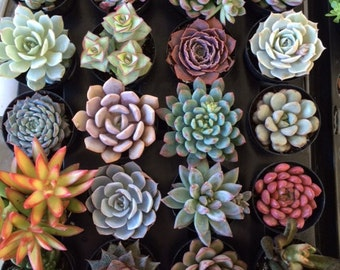 Small Succulent Plant You Choose 4