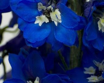 50 seeds Hybrid Delphinium dark blue