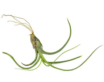 1 butzii tillandsia airplants