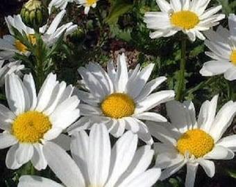 Creeping Daisy Chrysanthemum Flower Seeds / Paludosum / Annual 50+