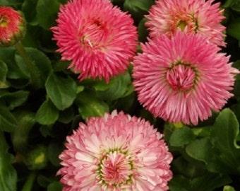 Salmon Pink Robella Bellis Flower Seeds / Perennial   50+