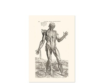 Vintage Anatomy of the human muscles - Educational poster with muscle anatomy of a human - Chart - illustration repro - Andreas Vesalius