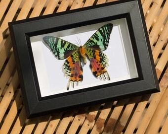 Framed sunset moth, Urania ripheus
