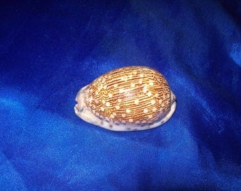 The Gray's Arabica Cowrie Shell from an Old Collection