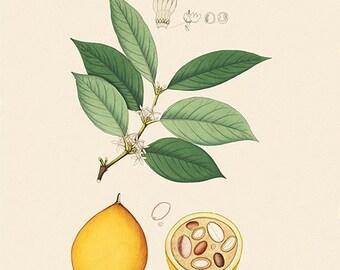 Passionfruit (Willughbeja edulis) - reproduction of an old botanical illustration