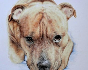 "Original drawing Coloured pencils Pitbull terrier 12""x14"""
