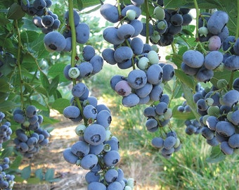 1 Blue Jay - Blueberry Plant - Ready for Shipping