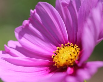 Pink Daisy Photograph