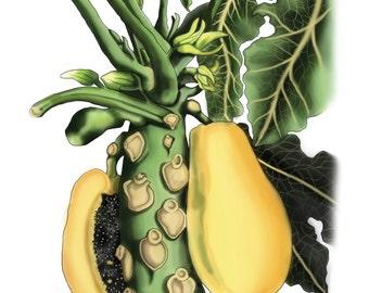 Papaya - Botanical Illustration