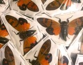 Real Orange Glanea festiva cicada Unmounted Spread Ready for your Project DIY