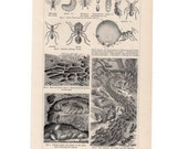 1894 ANTIQUE ANTS PRINT original antique entomology insects lithograph ant insect