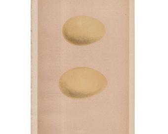c. 1875ANTIQUE EGG LITHOGRAPH - original antique hand colored print of bird eggs - egg print