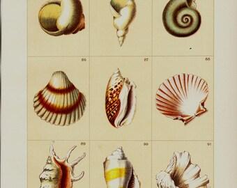 1903 Antique SHELLS print, Seashell, mollusk, crustacean, chromolithograph, 12 x 9 inches