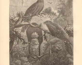 1878 Oilbird or Guácharo - Steatornis caripensis Original Antique Engraving to Frame
