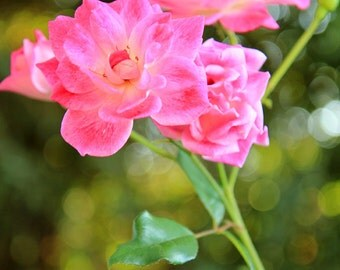Pink Roses with Bokeh Effect - Rose Photography - Flower Wall Art - Size 8x10, 5x7, or 4x6