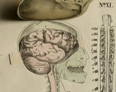 1841 Antique pull-down lithograph of HUMAN ANATOMY: Brain, Spinal Cord. Neurology. Vertebral Column. 175 years old print.