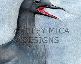 Black Guillemot - Limited Edition Print 5 x 7 or 8.5 x 11, Matted or Un-Matted - you choose