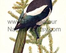 Vintage Bird Illustration, American Magpie, Antique Print, Digital Download