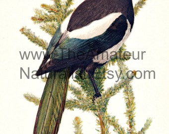 Vintage Bird Illustration, American Magpie, Antique Print, Digital Download