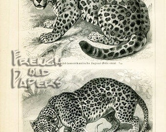 "FREE SHIPPING - Panther - Zoological Etching - Antique Lithography 1894's  - 5.9 ""x 9.6 inches - A3"