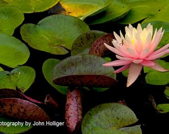 Fine Art Nature Photography Print - Green Bug on a Pink Lotus Flower with Water Lily Pads in Ohio - Wall Art Decor Lotus Flower Photography