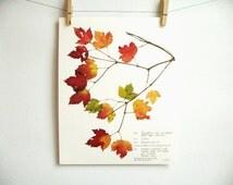 Douglas Maple Print, #217a, pressed leaves art print colorful autumn leaves art fall home decor print of original herbarium specimen art