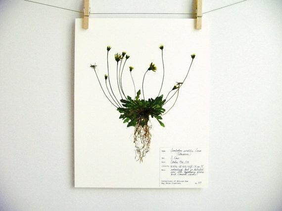 leontodon print 59 herbier sp cimen art art scientifique. Black Bedroom Furniture Sets. Home Design Ideas