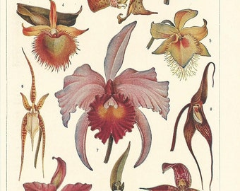 1935 ORCHIDS/ORCHIDACEAE. Plants... Authentic antique 80 years old nice print!