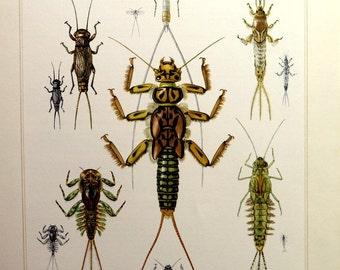 Antique INSECTS print, original 1967 Ephemera  mayflies stoneflies   engraving, vintage Ephemeroptera Plecopteraplate illustration.