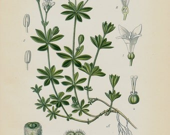 1896 Antique print, BOTANICAL print, lovely chromolithograph of a Galium odoratum, sweetscented bedstraw, woodruff, flower, plant