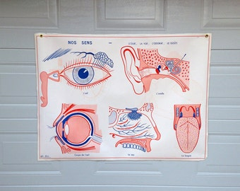 Vintage Educational poster / french school board about the human body / Edition M.D.I Saint Germain en Laye dating from 1964