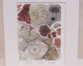 Vintage Mounted Botanical Print - Moss and Lichen on Stones