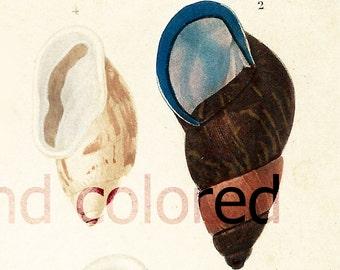 1861 Antique Snail Print, Original Gastropod Lithograph, Orbigny, Malacology Print Handcolored