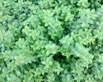 Oregano Organically Grown