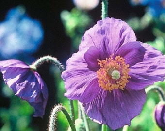 50 Himalayan Poppy Seeds Hensol Violet Poppy Seeds FLOWER SEEDS