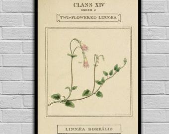 Vintage Botanical Art - Twinflower - Vintage Botanical Art Print - Floral Print/Canvas -  Botanical Wall Prints - 198
