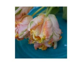 Pink and Yellow, Tulip, Photograph,Wall Art, Print
