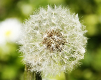 botanical photography, Photo dandelion, picture of dandelion puff, romantic decor Wall, spring decoration, decor flowers room, spring