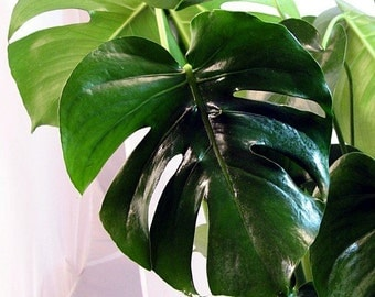 "Split Leaf Philodendron 6"" Pot - Monstera - Edible Fruit tastes like Pineapple (Free Shipping)"