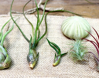 Tillandsia Gift Set plus FREE Sea Urchin