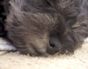 Miniature Schnauzer, baby sleeping, puppy, animal photograph, dog photography, wall art decor gifts, fine art photography, cute pictures
