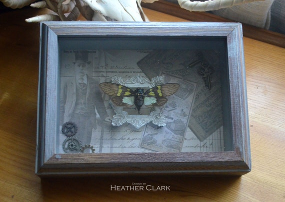 Beautiful Real Gaeana Cheni Cicada in Unique Display