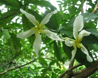 Tabernaemontana Africana / Samoan Gardenia - 1 potted plant, Comb Ship